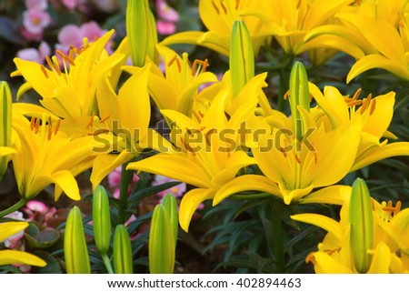 Group of Beautiful yellow lily flower in green garden.  - stock photo