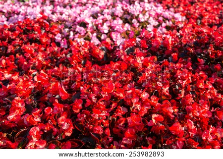 group of begonia blooming at garden in spring - stock photo