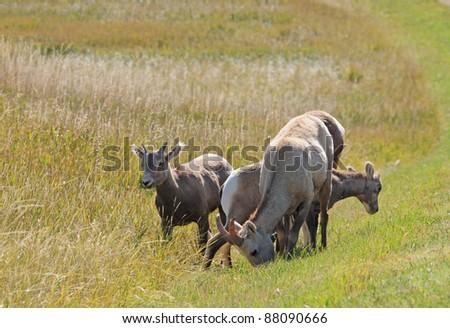 Group of bighorn sheep grazing in grasslands of Badlands National Park in South Dakota - stock photo