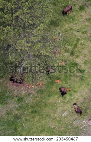 group of bison viewed form above in Custer state park, South Dakota - stock photo