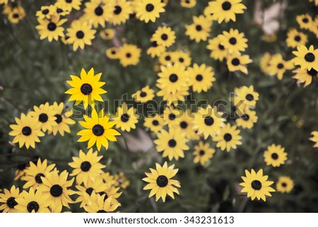 Group of Black Eyed Susans in a garden shot from above. - stock photo
