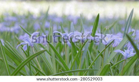 Group of blue scilla flowers. Short depth of focus - stock photo
