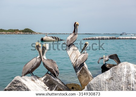 Group of Brown pelicans. The Florida Brown Pelican (Pelecanus Occidentalis) is  the smallest of all pelicans in the United States - stock photo