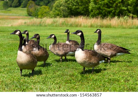 Group of Canada Geese - stock photo
