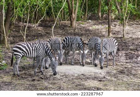 group of captive Grant's zebra (Equus quagga boehmi) feeding in zoo habitat - stock photo