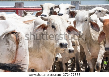 Group of cebu bulls specie (Bos taurus indicus), ready for sacrifice to get meat for human consumption. Taken at slaughterhouse in Meta, Colombia. - stock photo