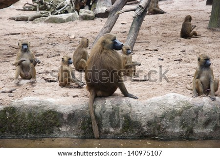 Group of chacma baboon (papio ursinus). - stock photo