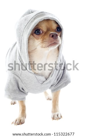 group of chihuahua dressed in front of white background - stock photo