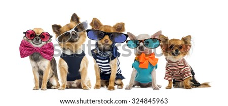 Group of Chihuahuas dressed, wearing glasses and bow ties - stock photo