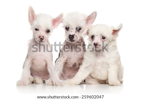 Group of Chinese Crested puppies on white background - stock photo