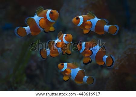 Group of Clown Fish Amphiprion Ocellarisin Marine Aquarium - stock photo