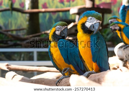 Group of Colorful blue and yellow parrot macaw Ara ararauna - stock photo