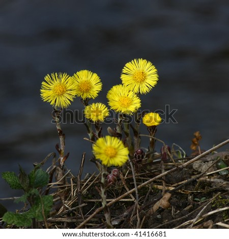 Group of coltsfoot flowers on blurred background - stock photo