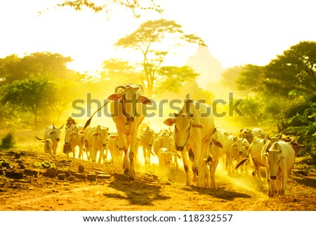Group of cow walking on dusty road, Bagan, Myanmar - stock photo