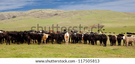 Group of Cows on Green Hills - stock photo