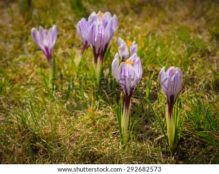 group of crocuses in the grass - stock photo