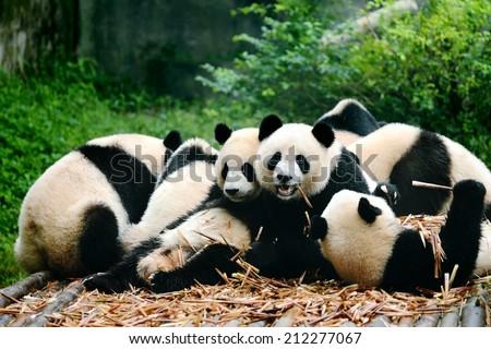 Group of cute giant panda bear eating bamboo Chengdu, China - stock photo