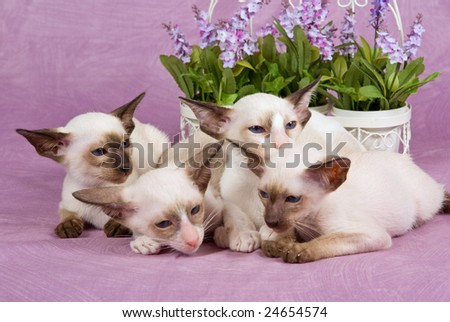 Group of cute Siamese Oriental kittens with flowers on pink background fabric - stock photo