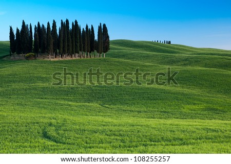 Group of cypresses, San Quirico d�´Orcia, Tuscany, Italy - stock photo