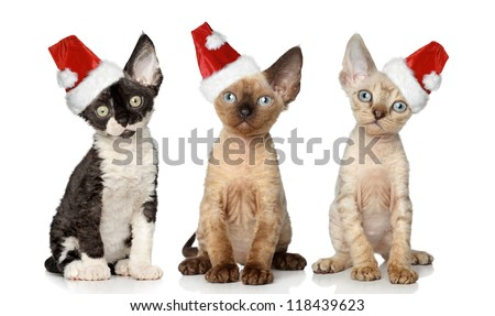 Group of Devon Rex cats in Christmas red hat, sits on a white background - stock photo