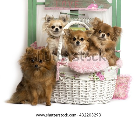 Group of dogs, a German Spitz and a Chihuahua sitting, in front of a rustic background - stock photo