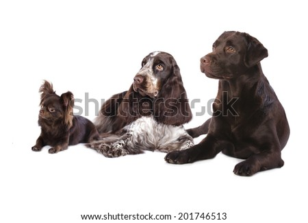 Group of  dogs , chocolate coat color - stock photo
