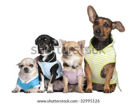 group of 4 dogs dressed-up in front of a white background - stock photo
