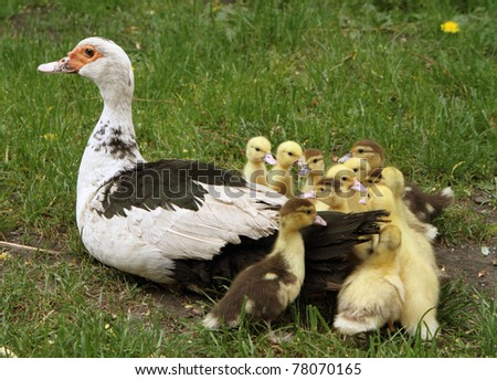 Group of Ducklings with their mother, outdoors - stock photo