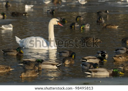 Group of ducks, Mallards, and swan on a winter pond - stock photo