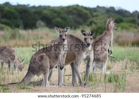 Group of Eastern Grey Gray Kangaroo Macropus giganteus - stock photo