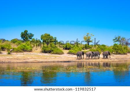 Group of elephants walking along a river - stock photo
