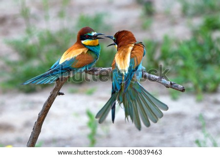 Group of European bee-eater or Merops apiaster is sitting on a twig - stock photo