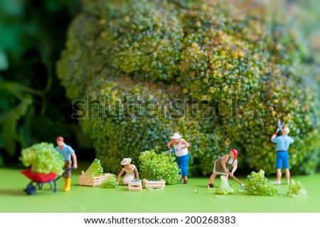 Group of farmers harvesting a giant cauliflower. Macro photography - stock photo