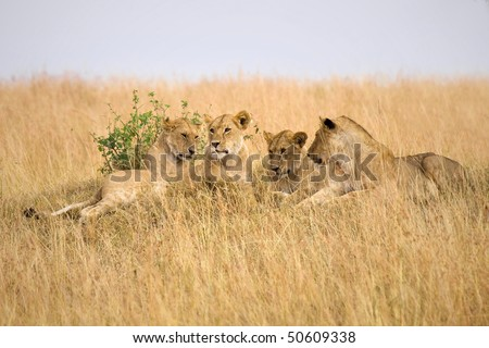 Group of female lions laying on a small hillside in Africa. - stock photo