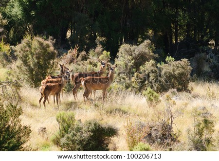 group of female Red Deer watching and waiting in the South Island of New Zealand - stock photo