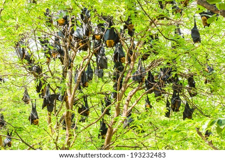 Group of Flying foxes hanging on the tree - stock photo