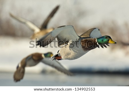 Group of flying Mallards - stock photo
