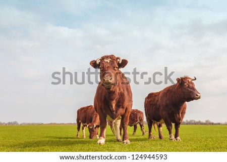 Group of four brown Dutch cows in summer on fresh green grass - stock photo