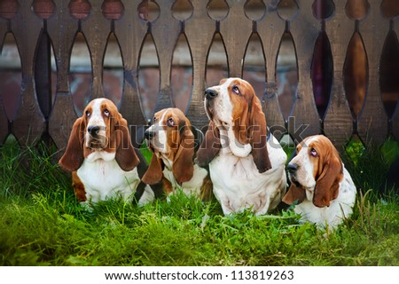group of four dogs basset hound sitting on the grass - stock photo