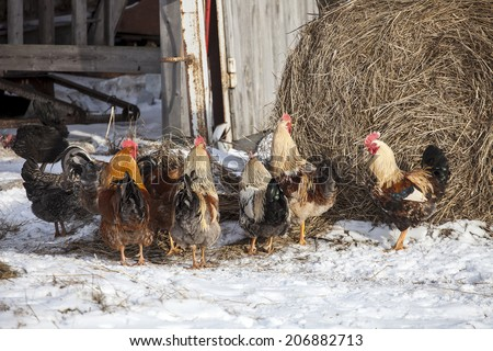 Group of free range chickens near hay storage in snow covered farmyard - stock photo