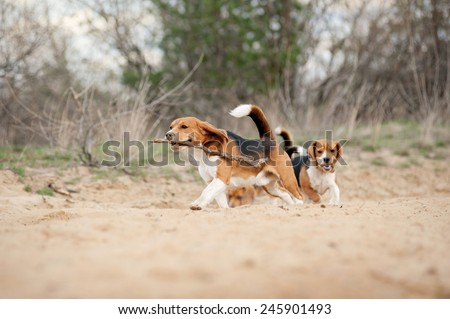 Group of funny beagle dog running in spring - stock photo