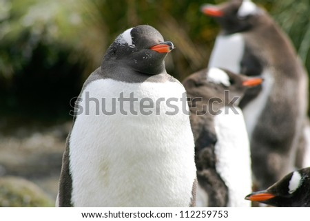 Group of Gentoo penguins - stock photo