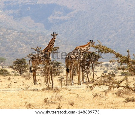 group of giraffe eating from a tree in a gorgeous landscape in Africa - stock photo