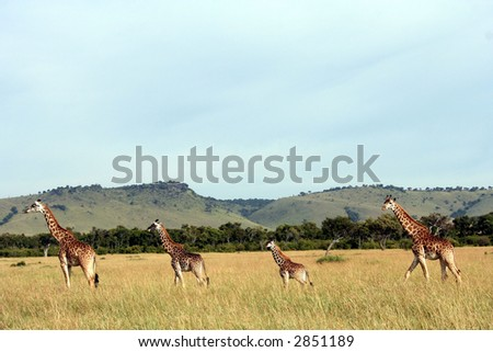 Group of giraffes - stock photo
