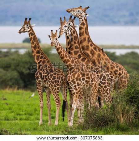 Group of giraffes. Uganda. Africa. Safari. An excellent illustration. - stock photo