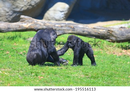 Group of gorillas playing in the grass - stock photo