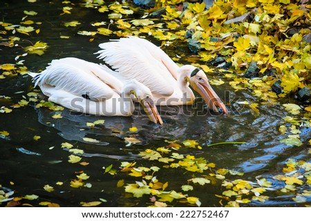 Group of Great White Pelicans in water - stock photo