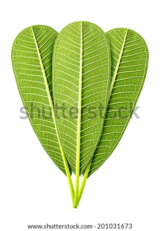 Group of green leaf isolated on white - stock photo