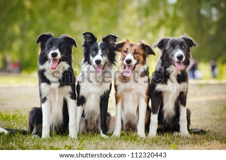 group of happy dogs border collies sitting on the grass in summer - stock photo