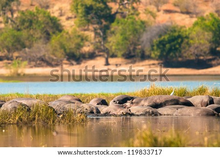 Group of hippopotamus in the mud, Chobe National Park - stock photo